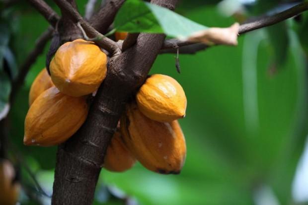 Indonesia berkomitmen untuk mengalahkan Pantai Gading dan Ghana dalam produksi kakao global